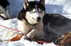 Sled dog and pig ear