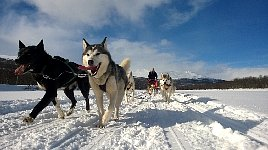 Dogsledding in Vindelfjaellen nature reserve