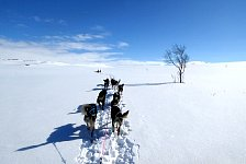 Vindelfjällen dog sledding