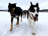 Sled dogs Pippin and Zink