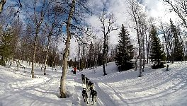 Dog sledding in forest
