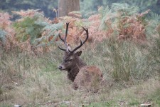Windsor Great Park deer